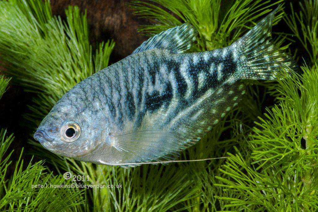 Opaline Gourami Fish Profile Care Facts Seafish