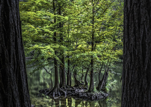 cypress cypressgrove ladybirdlake redbudisle austintexas austin texas olympusomdem1
