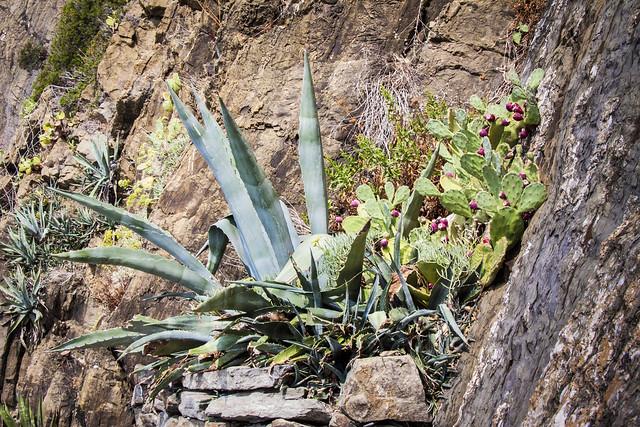 Cinque Terre - Cactus