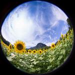 向日葵畑の空