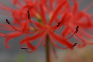 Red Magic Lily 4 | by j_arlecchino