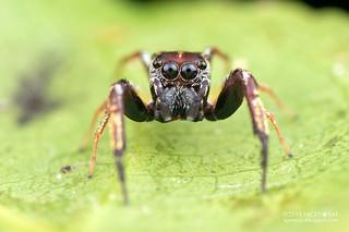 Jumping spider (Salticidae) - ESC_0047