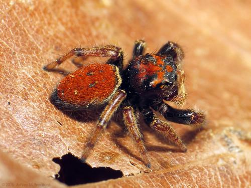 red animal animals bug spider spiders arachnid bugs arachnids jumpingspider arthropods animalia arthropoda arachnida arthropod araneae salticid phidippus jumpingspiders salticidae chelicerata araneomorphae img1570 phidippuswhitmani chelicerate dendryphantinae entelegynes chelicerates johnsonigroup phidippusjohnsonigroup taxonomy:binomial=phidippuswhitmani arachtober2015