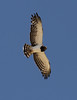 Black-breasted Snake-eagle by Wild Chroma