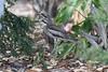 Bush Stone-Curlews by myrontay