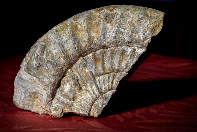 Ammonite fossilisée 3