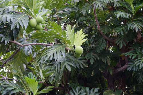 Breadfruit (1) | by Neil DeMaster