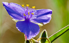 Spiderwort Sunrise