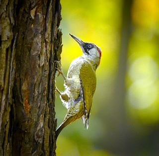 Green woodpecker | by hedera.baltica