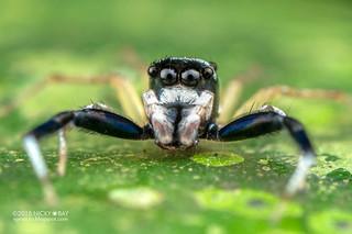 Jumping spider (Phintella sp.) - DSC_9957