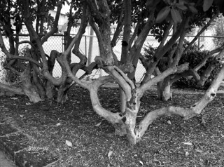 Twisted Tree Trunks