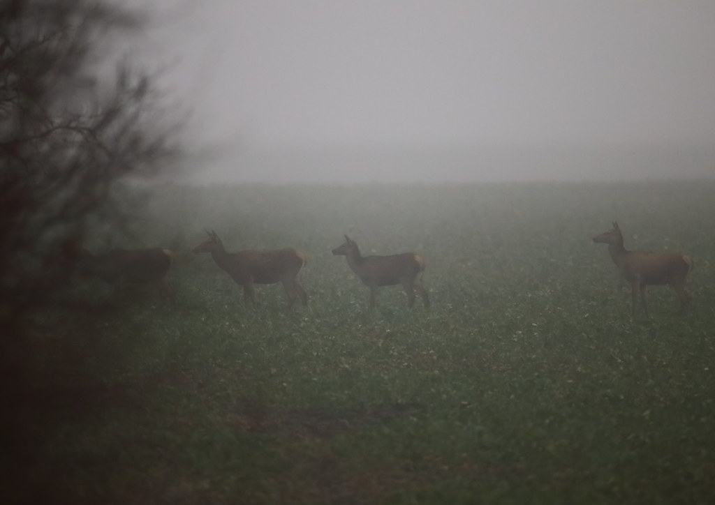 hinds on foggy field 3