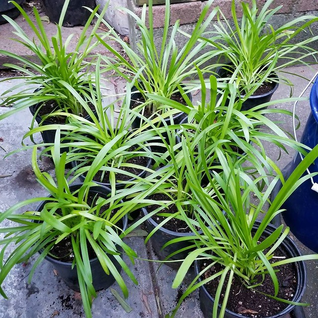 My divided and potted Agapanthus seedlings. As I was repotting, I was imagining working for a plant nursery. I'll let these grow a bit, then plant them out into our front yard. They don't have variegated leaves like it's mother, but I hope they at least h