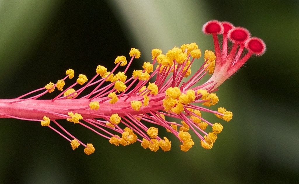 Macro Of The Reproductive Organs Of A Hibiscus Flower The Flickr