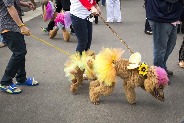 Carmel Valley Poodle Parade 2015