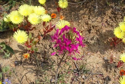 Pelargonium incrassatum in habitat