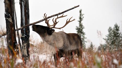 Caribou, Yukon Wildlife Preserve   by aaranged
