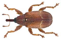 Bradybatus fallax Gerstaecker, 1860