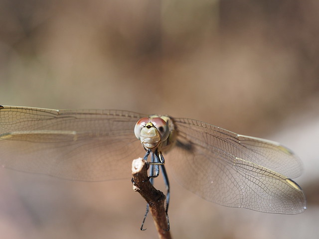 Face of a Dragonfly