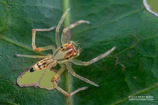 Jumping spider (Salticidae) - DSC_5115