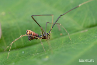 Comb-footed spider (Argyrodes sp.) - DSC_5519
