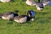 Barnacle Goose, Campfield Marsh RSPB, Cumbria, England by Terathopius