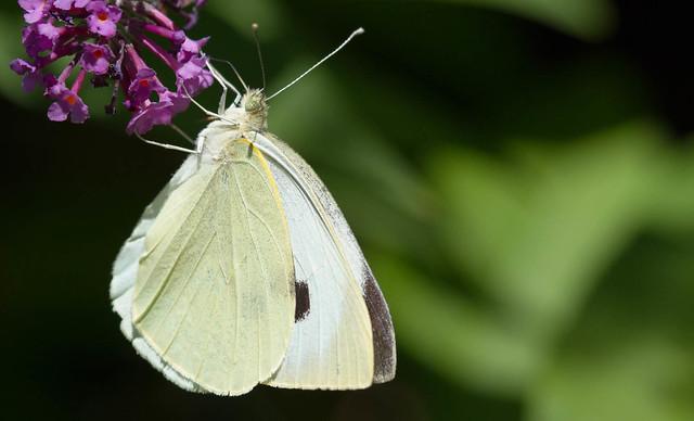 papillon d'ardeche