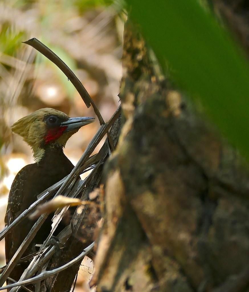 Pale-crested Woodpecker (Celeus lugubris) male
