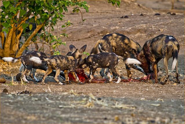 Family Meal - Wild Dogs at Impala Kill
