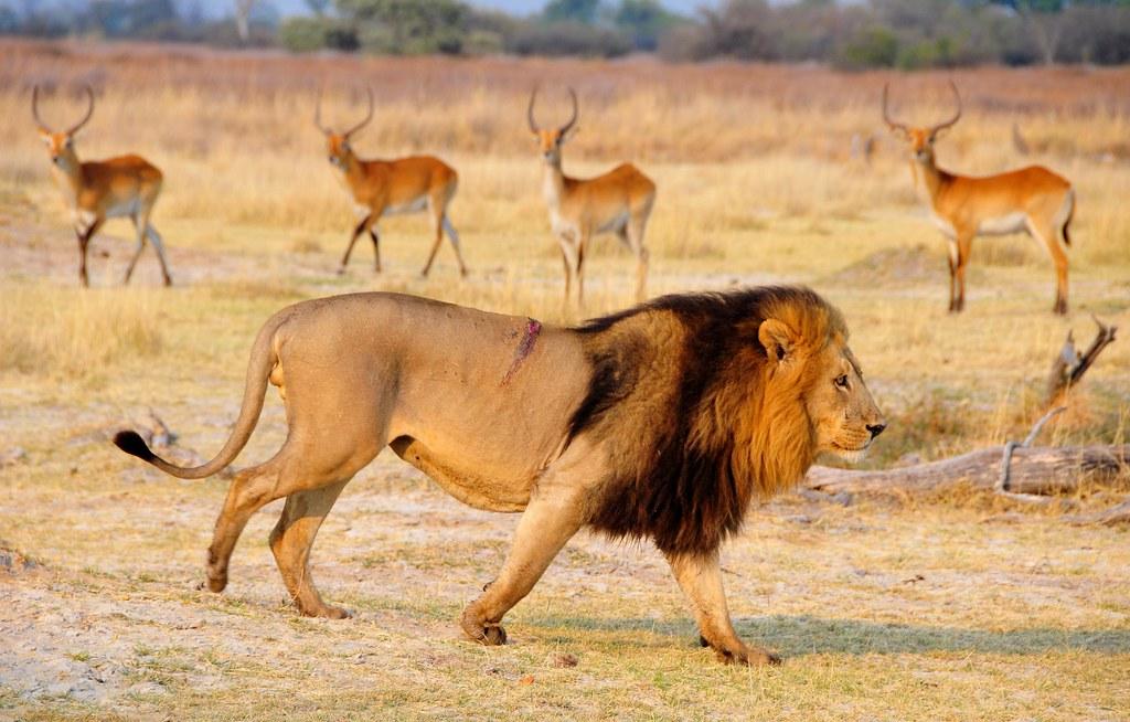 Botswana-daily life in Moremi reserve (Explore)