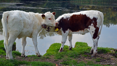 foreverfriends wimpolehall wimpolefarm calves calf lancelotcapabilitybrown lancelotbrown capabilitybrown farm water lake field animal together grass landscape thenationaltrust explore inexplore countryside rural