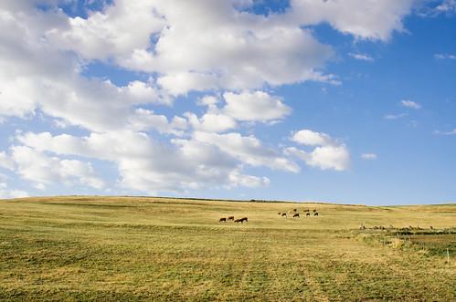 Les vaches Salers à l'estive