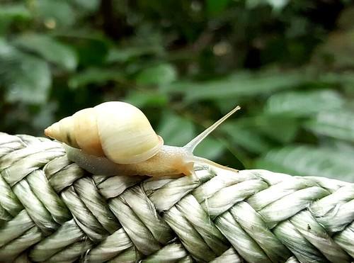 Mexican Albino Snail   by toniak2