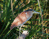 Nankeen Night Heron (Nycticorax caledonicus).02.(free bird) by Geoff Whalan