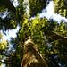 Redwood canopy by mara.