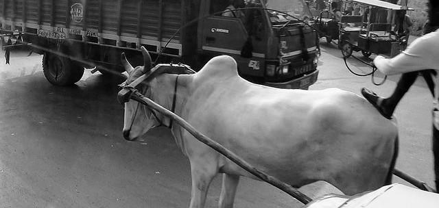INDIEN- Delhi, Tier und LKW in Konkurrenz, 13003/5729
