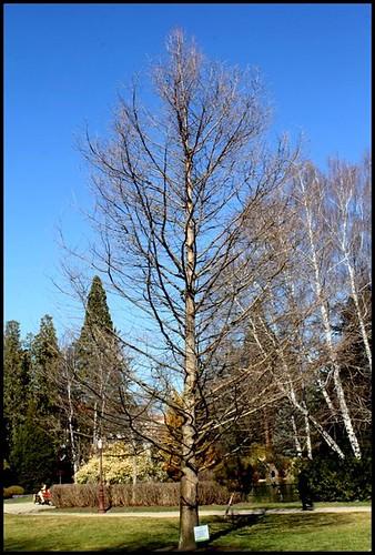 Taxodium distichum - cyprès chauve, cyprès de Louisiane  22417231600_d0f44481fb