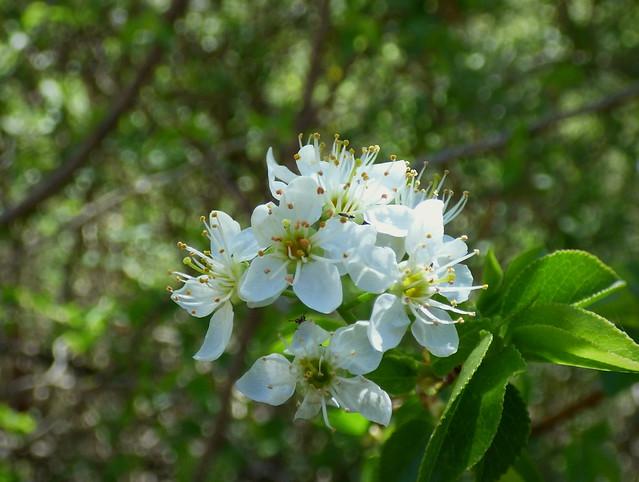Flores de ciruelo silvestre