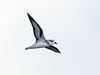 Black-winged Petrel (Pterodroma nigripennis) by David Cook Wildlife Photography