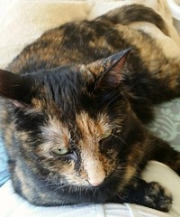 Sophie the lap cat.