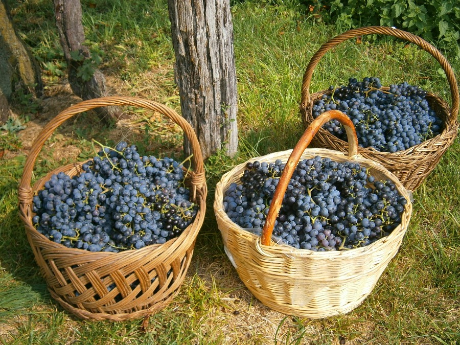 Apulian Red Grapes