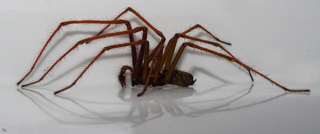 Giant House Spider  (Eratigena atrica.) Male