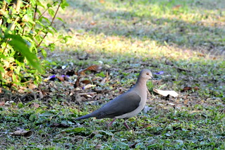 White-tipped Dove (Leptotila verreauxi) | by Ulcia.tr