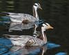 Bar-headed Goose (Anser indicus)-3856 by Stein Arne Jensen