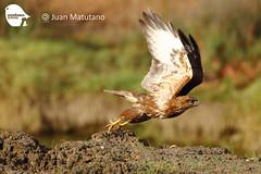 Common Buzard Birding Seville