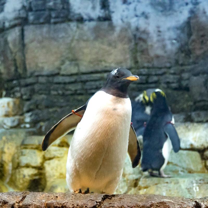 Billet retour pour manchot égaré |Happy Feet Zoo Aquarium