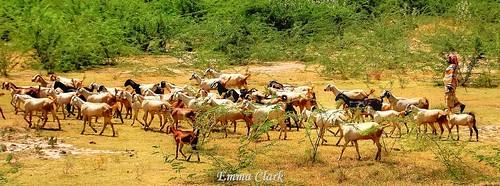 panorama india nature animal animals landscape landscapes nikon indian goat panoramic goats herd tamilnadu dindigul herding goatherding