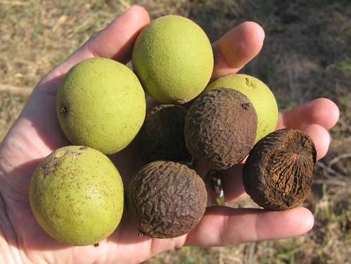 Foraging Texas: Black Walnut