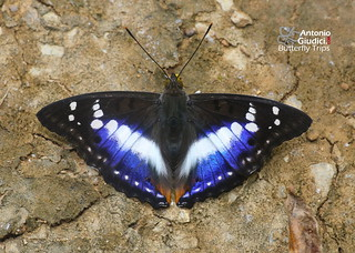 The Indian Purple Emperor - ผีเสื้อเจ้าชายม่วง | by Antonio Giudici Butterfly Trips