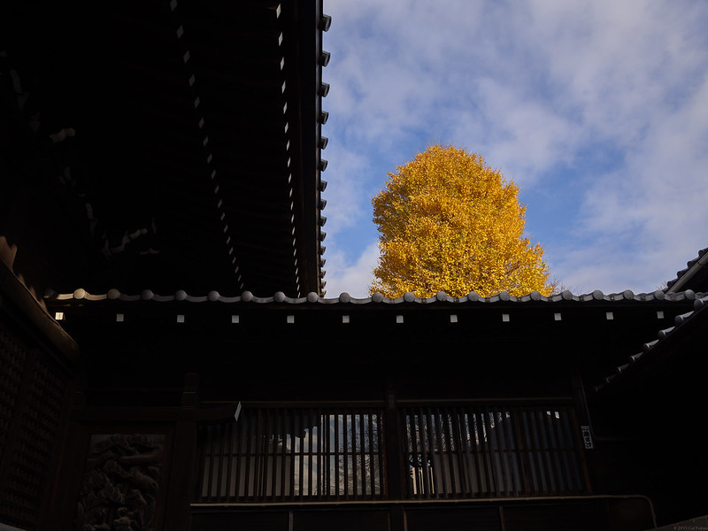yellow ginkgo at Hakusan Shrine